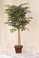 5FT GREEN FICUS