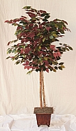 5FT RED BACK FICUS