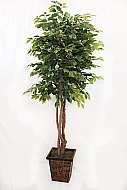 6.5FT GREEN FICUS